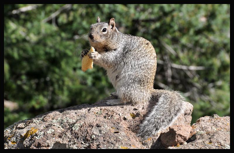 Junk Food Ground Squirrel