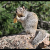Junk Food Ground Squirrel