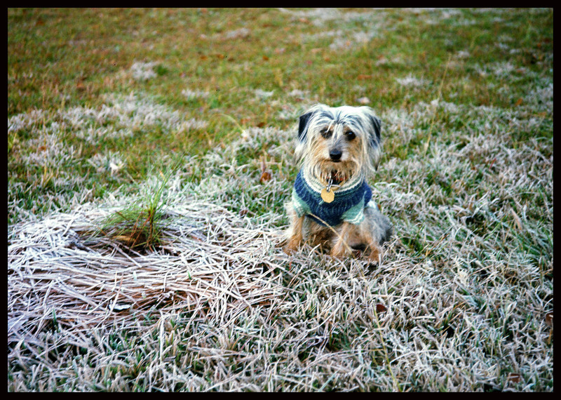 A Cold Critter - in icy grass, with only one tiny tree to pee on.