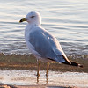Just a seagull... Testing out my new lens
