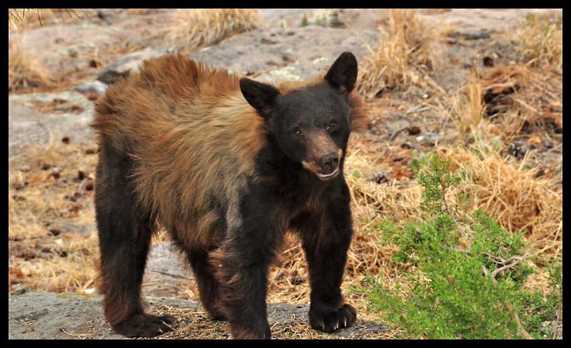 Female Black Bear (in our back yard)