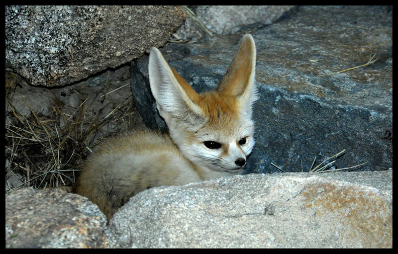Fennec (the smallest fox in the world)