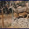 Mule deer doe out back.