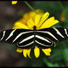 Black and white flutterby on yellow.
