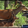 Mule Deer Doe with Two Fawns