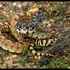 Wannbe Rattlesnake