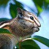 Chipmunk North of La Ronge