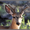 Mule Deer Buck Yearling