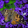 Butterfly on purple