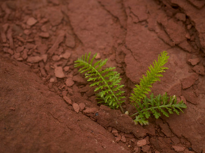 Fern in Red Clay _1060225