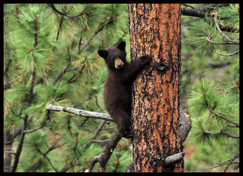 Black Bear Cub on a Big Ponderosa Pine Tree