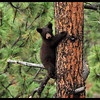 Black Bear Cub on a Big Ponderosa Pine Tree