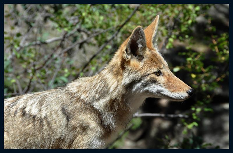 Back Yard Coyote
