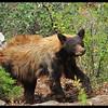 Female Black Bear (in back yard)