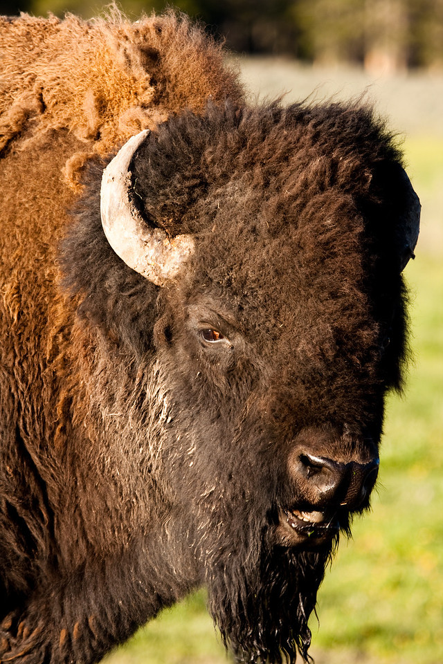 The buffalo of the American West was once plentiful and brought back from the brink of extinction through the conservation efforts at the turn of the century. Yellowstone NP now houses the largest free roaming herd of buffalo (also more correctly known as bison) in North America. It is now seen as an icon of the American West.