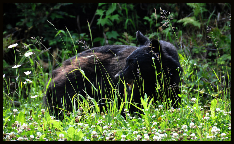 Bear in the grass.