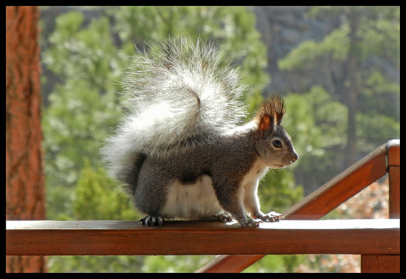 Abert's Squirrel with tufted ears.