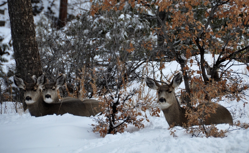 Mule Deer Does in Snow