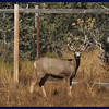 Mule deer buck out back.