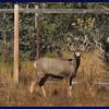 Mule deer buck out back.