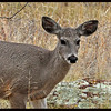 """Coues"" Whitetail Deer"