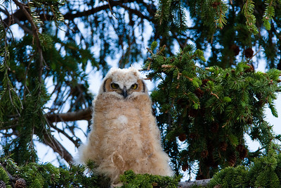 Great Horned Owlet perched near its nest in a lodgepole pine in Mammoth Hotsprings