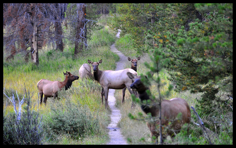 Elk Have the Right of Way on Trails