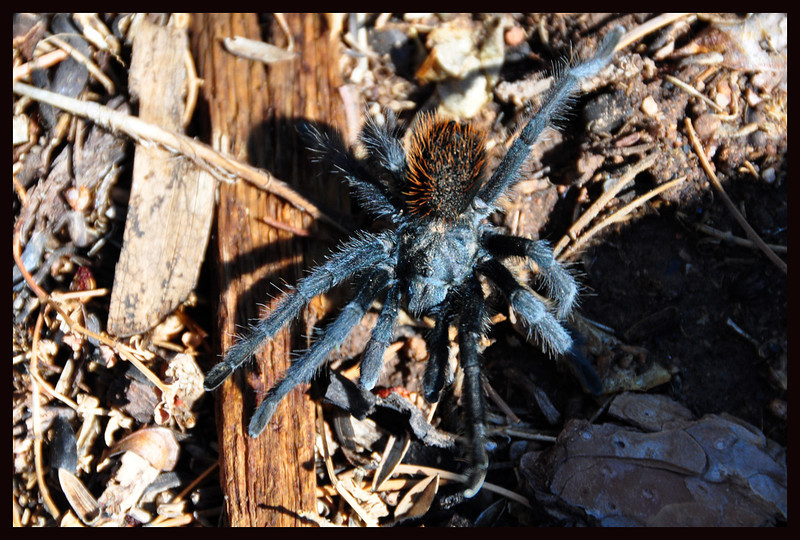 Back Yard Tarantula