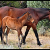 Wild Horse with Colt