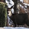 Mule deer doe with alfalfa dinner.