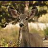 2015 mule deer fawn.