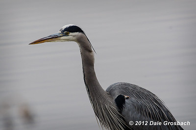 Great Blue Heron - Up Close
