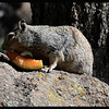 Ground Squirrel with Cantaloupe