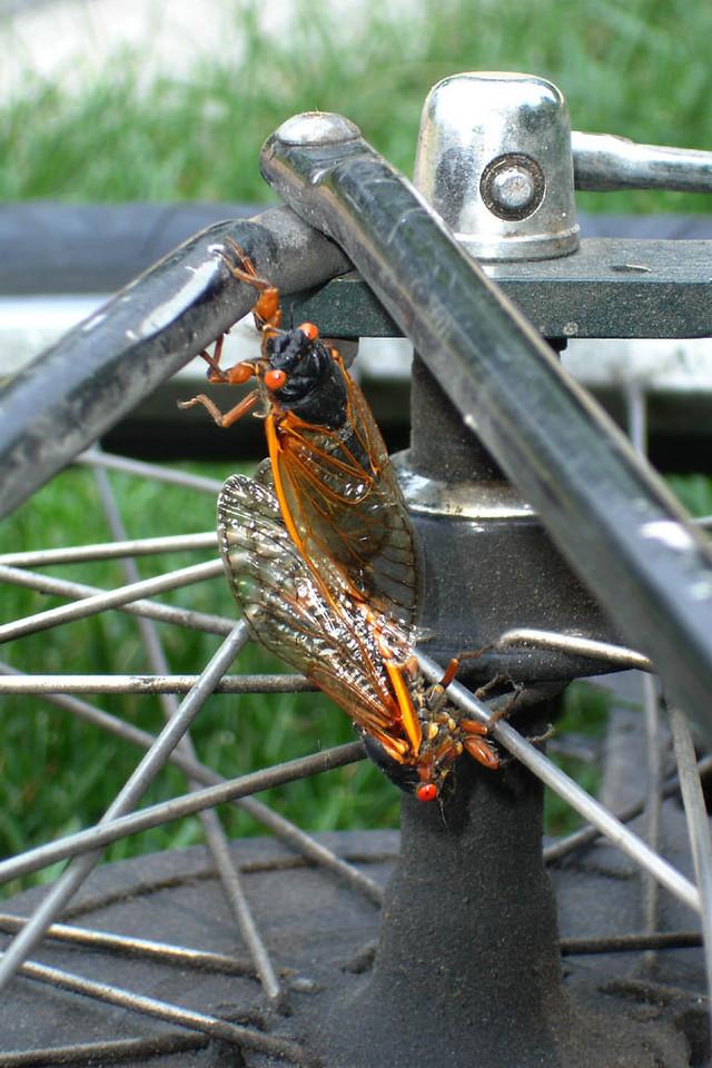 The 17 Year Cicadas