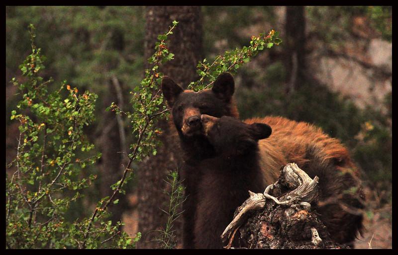 Black Bear Cub Licking its Mama