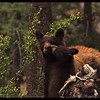 Black Bear Cub Licking its Mama