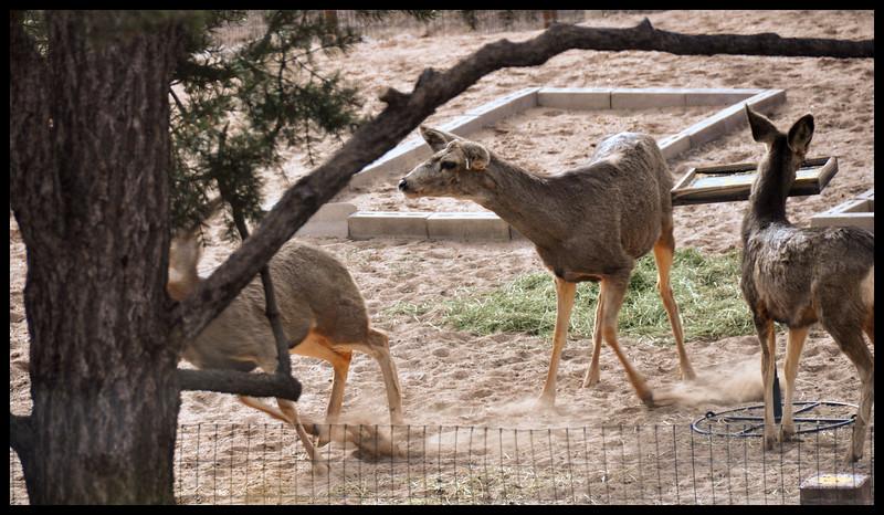 Fighting mule deer does - ears back.