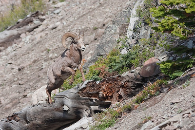 This Bighorn Ram was found near Sylvan Pass in Yellowstone, NP.