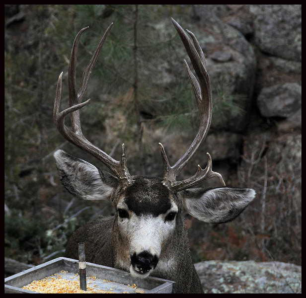 Mule Deer Buck at the Salad Bar