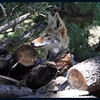 Coyote in the Wood Pile