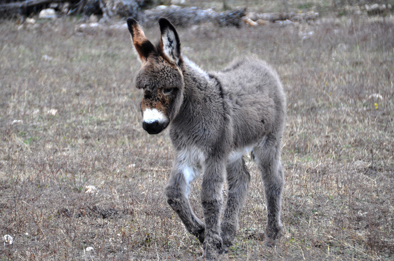 Young Burro