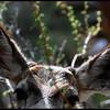 Mule deer antler buds.
