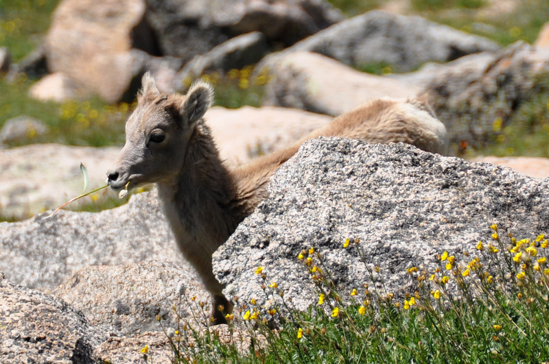 Bighorn Sheep Lamb Munching a Wildflower