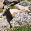 Bighorn Sheep Lamb Munching a Wildflower