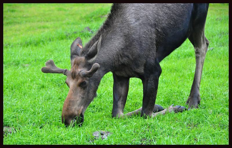Kneeling/Grazing Moose