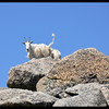 Mountain Goat Swinging it's Tail - A Warning?