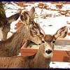 Backyard Mule Deer at the Bird Feeder.