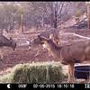 Dueling mule deer bucks.