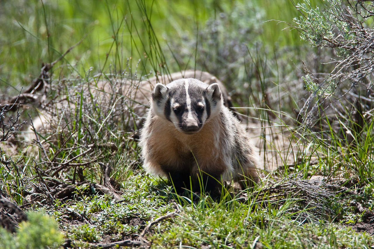 A young badger stands watch outside of its den while mom is out hunting for food. This den was located in the Lamar Valley in Yellowstone, NP. The Lamar is often refered to as the Serengeti of North America because of the large abundance of wildlife. The mega fauna of Bison, Elk, Pronghorn, Grizzly Bear, Black Bear, Grey Wolf, and Coyote inhabit this area with their small friends.