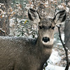 Mule Deer Doe in Snow (Six degrees above zero)
